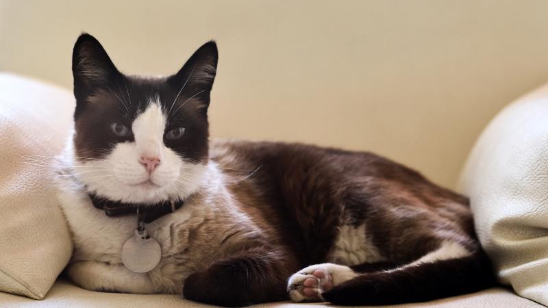 Cuidar un gato con chapita de identificación
